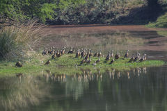 Ducks at the Pond. Flock of Lesser Whistling Ducks standing at the bank of Pond stock images