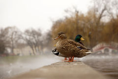 Ducks on a pond in a foggy morning Royalty Free Stock Photography