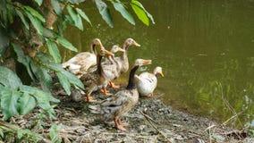 Ducks Pond Royalty Free Stock Photo