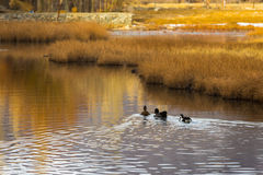 Ducks in pond. Group of ducks in autumn pond Stock Image