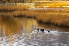 Ducks in pond Stock Image