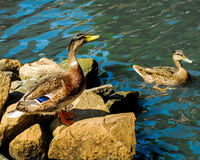 Ducks on a Pond. Royalty Free Stock Image