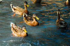 Ducks on a Pond. Stock Images