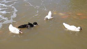 Ducks in pond. Royalty Free Stock Image