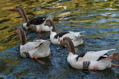 Ducks on a pond inthe park 2 royalty free stock photography
