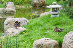 Ducks at a pond in Japanese style Stock Image