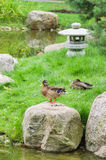 Ducks at a pond in Japanese style Royalty Free Stock Image