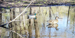 Ducks on the pond Royalty Free Stock Photo