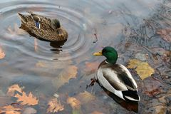 Ducks on the pond. In late autumn these 2 ducks are hanging out at the pond Royalty Free Stock Photo