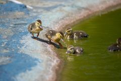 Ducks on the pond. Little ducklings. Swimming Royalty Free Stock Photography