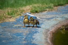 Ducks on the pond. Little ducklings. Swimming in water. Concept of family and friendship Royalty Free Stock Photography
