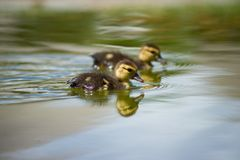 Ducks on the pond. Little ducklings. Swimming in water. Concept of family and friendship Royalty Free Stock Images