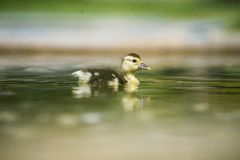 Ducks on the pond. Little ducklings. Swimming Royalty Free Stock Image