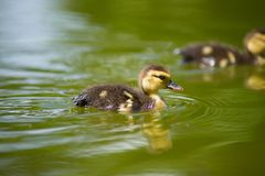Ducks on the pond. Little ducklings. Swimming Stock Photo