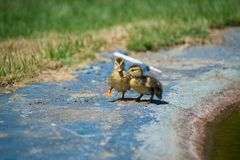 Ducks on the pond. Little ducklings. Swimming in water. Concept of family and friendship Royalty Free Stock Photo