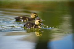 Ducks on the pond. Little ducklings. Swimming in water. Concept of family and friendship Stock Photography