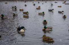 Ducks in pond. Mallard ducks swimming in a pond in Lititz PA Royalty Free Stock Photography