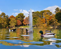 Ducks in pond near Crystal Palace - Madrid Stock Photography