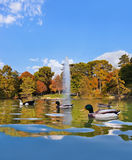 Ducks in pond near Crystal Palace - Madrid. Spain Royalty Free Stock Photo