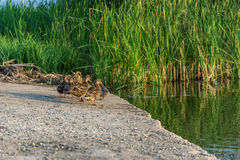 The ducks on the pond Stock Photography