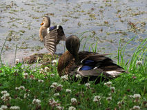 Ducks in the pond Stock Images