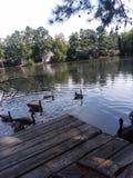 Ducks on the pond stock photos