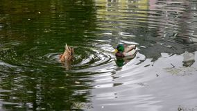 Ducks in a pond with reflections royalty free stock images