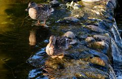 Ducks on the pond. Ducks on the stones near the pond Royalty Free Stock Photos