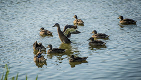 Ducks on the pond Royalty Free Stock Photography