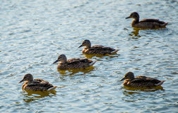 Ducks on the pond Stock Photography