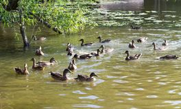 Ducks in the pond at summer. wildlife, nature. Royalty Free Stock Photo