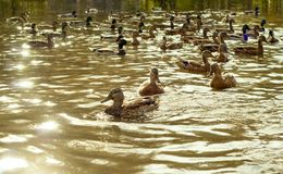 Ducks in the pond on a sunny day stock image