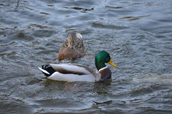 Ducks in the pond. Ducks swimming in the pond Stock Photos