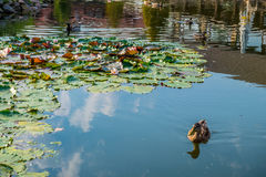 Ducks in pond Royalty Free Stock Images