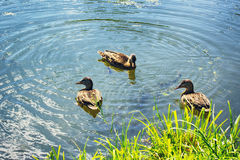 Ducks In The Pond Royalty Free Stock Photography