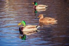 Ducks on a pond. Tree Ducks on a pond Stock Photos