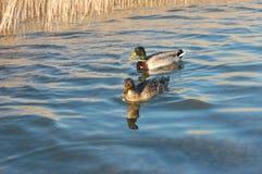 Ducks in pond stock photo