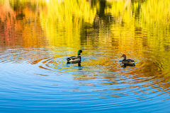 Ducks in pond. Two ducks swimming in a pond during autumn Royalty Free Stock Photography