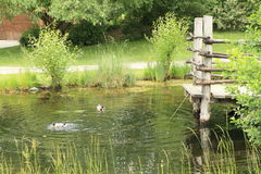 Ducks on pond Royalty Free Stock Photo