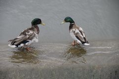 Ducks in the pond. Stock Photo