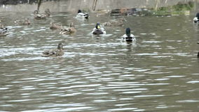 Ducks on a pond. A video of ducks being fed by adults/children by the side of a pond stock video