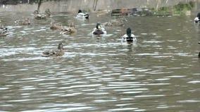 Ducks on a pond stock video