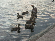 Ducks in pond Royalty Free Stock Photos
