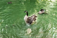 Ducks in the pond. Royalty Free Stock Photos