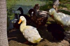 Ducks preen took a stand Stock Photo