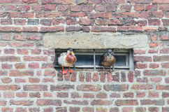 Ducks on a projecting wall Royalty Free Stock Photography