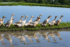 Ducks queue in the rice fields. Ducks walking in the rice fields in Bali Stock Photo