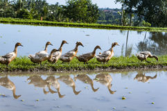 Ducks queue in the rice fields. Ducks walking in the rice fields in Bali Royalty Free Stock Image