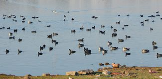 Ducks at Randarda Lake. Randarda lake, Rajkot, Gujarat, India is known for resident and migrant birds and ducks... Different types of ducks are seen at the lake Stock Images