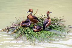 Ducks on a Reed Boat Royalty Free Stock Photos